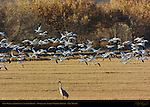 Snow Geese in Flight over the Farm Fields, Bosque del Apache Wildlife Refuge, New Mexico