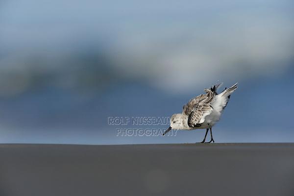 Sanderling (Calidris alba), adult running winter plumage, Port Aransas, Mustang Island, Texas Coast, USA