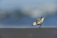 Sanderling (Calidris alba), adult running winter plumage, Port Aransas, Mustang Island, Texas Coast, USA