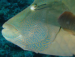 Blue Corner, Palau -- Close-up of a Napoleon Wrasse (Cheilinus undulatus).<br />