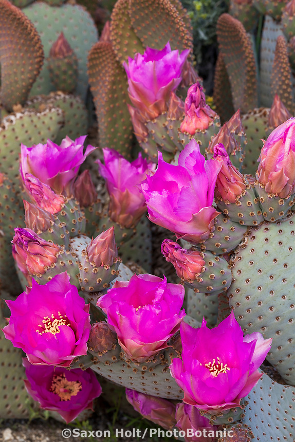 Opuntia basilaris, Beavertail Cactus, flowering cactus California native plant Anza Borrego State Park