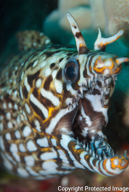 It took me over 10 years to find this dragon eel.I been to this site over 1000 times and finally got to see and photograph the dragon eel.One of the most photogenic eels in the ocean.