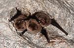 Daubenton's bats, Myotis daubentonii, Roosting in cave, Sierra de Andujar Natural Park, Sierra Morena, Andalucia, Spain