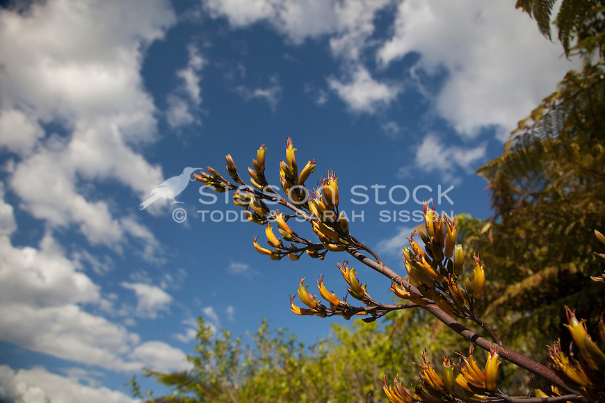 Close up of yellow flax flowers against a blue sky, New Zealand - stock photo, canvas, fine art print