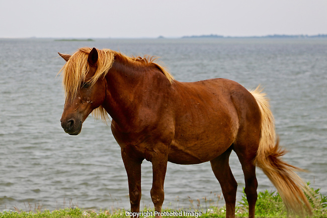 Wild Horse of Assateague Island