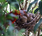 Male cardinal feeding his chicks.