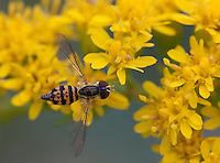 Flower Fly; Toxomerus geminatus; on goldenrod; PA, Philadelphia; Morris Arboretum