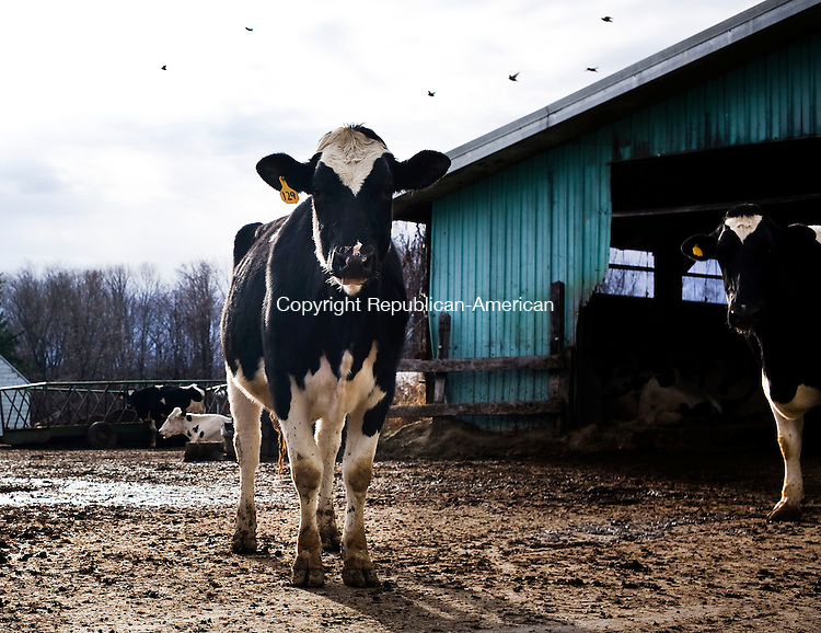 Torrington, CT- 26 December 2015-122615CM01- Dairy cows are seen at Weigold's Farm in Torrington on Saturday.  An unknown person vandalized the milk room emptying approximately  2,000 lbs of milk.      Christopher Massa Republican-American