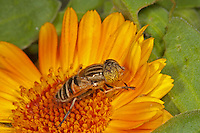 Eristalinus sp; on Marigold flower.