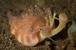 Vomer Conch : Strombus vomer, eye stalks and mouth extended, Komodo National Park