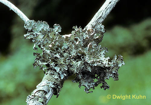 LI01-001a  Foliose Lichen - growing on tree