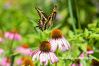 03017-01510 Giant Swallowtail (Papilio cresphontes) in flight at Purple Coneflower (Echinacea purpurea) Marion Co. IL