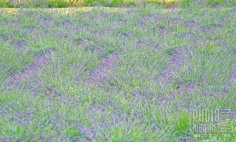 A field of lavender at Alii Kula Lavender farm and gardens at the base of Haleakala, Kula
