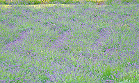 A field of lavender at Alii Kula Lavender farm and gardens at the base of Haleakala, Kula