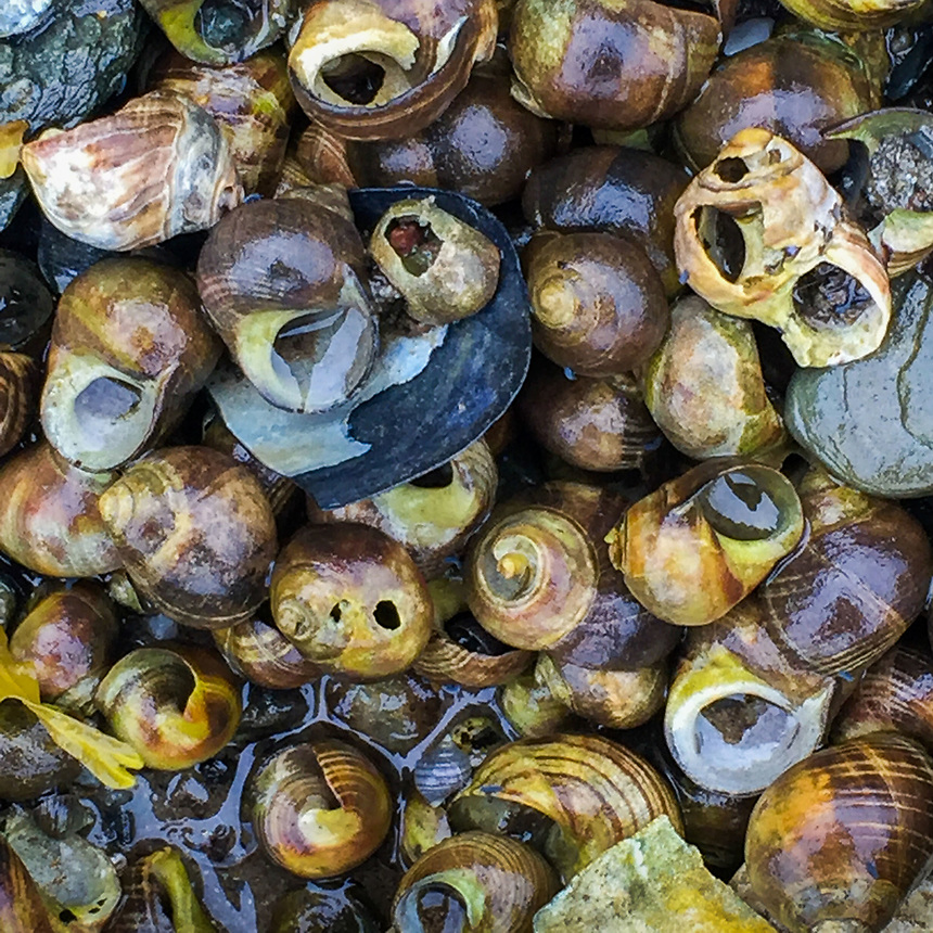 Periwinkles, Nautilus Island, Castine, Maine, US
