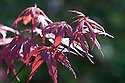Acer palmatum 'Skeeter's Broom', mid April.