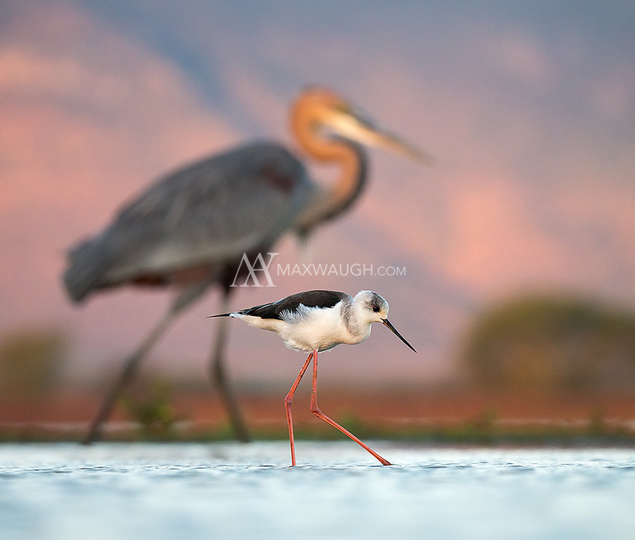 A Black-winged stilt wades in a pond at Zimanga Game Reserve.  A massive Goliath heron walks behind.