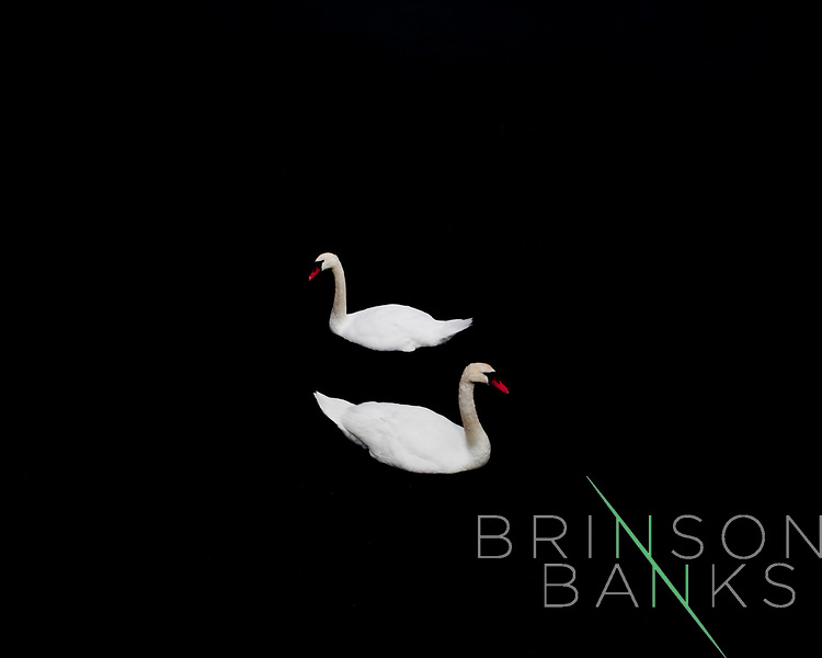 Swans swim near the harbor in Ballyvaughan, a small fishing village on the west coast of Ireland, nestled between between the hills of the Burren and the sea, on the southern shore of Galway Bay.