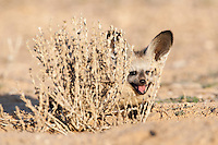 Bat-eared fox pup lying behind bush