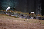 Wood storks are a protected species due to habitat loss.  They hunt by touch, feeling along in shallow water with their large bill until they touch a fish.