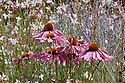 Echinacea purpurea 'De Donkeute Steel' against a background of Gaura lindheimeri 'Whirling Butterflies', mid August.