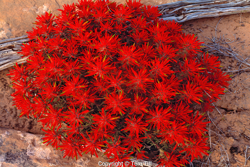 Spring Desert Paintbrush Blooms, Arches National Park, Utah   Castilleja chromosa