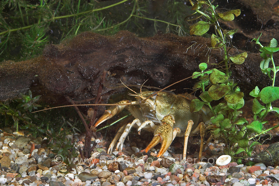 Galizischer Sumpfkrebs, Galizischer Sumpf-Krebs, Galizier, Galizierkrebs, Astacus leptodactylus, long-clawed crayfish