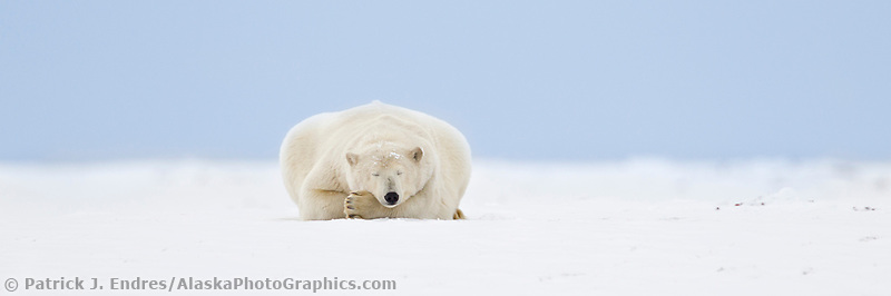 Polar bear sleeps on the snow covered arctic barrier island in Alaska's Beaufort Sea, Arctic National Wildlife Refuge.