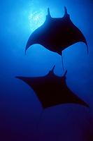 manta rays, Manta birostris, San Benedicto, Revillagigedos (Socorro) Islands, Mexico (E. Pacific Ocean)