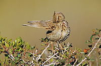 Crested Lark, Galerida cristata ,adult preening, Samos, Greek Island, Greece, May 2000