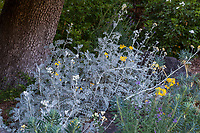 Jacobaea maritima (syn. Senecio cineraria) yellow flowering gray foliage Dusty Miller, Marin Art and Garden Center