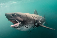 salmon shark, Lamna ditropis, Port Fidalgo, Prince William Sound, Alaska, USA, Pacific Ocean
