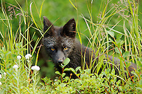Black fox (dark phase of red fox, Vulpes Vulpes) standing in huckleberry, Paradise Valley, Mount Rainier National Park, Washington, USA
