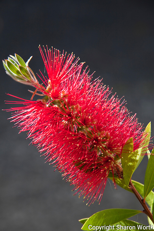 "Few trees or shrubs are as aptly named as ""The Bottlebrush"".  This one displayed its brilliant red 'brush' in mid-May."