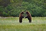 Brown bears, Katmai National Park, Alaska