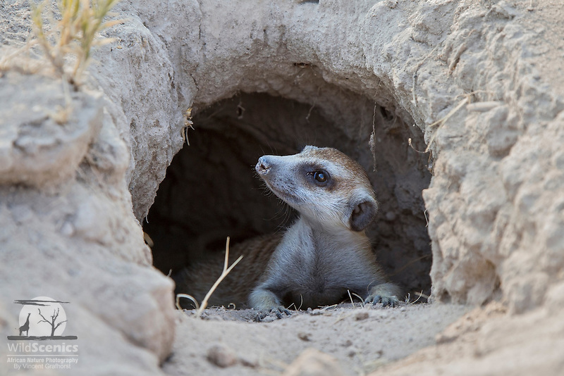 Meerkat emerging from a burrow.