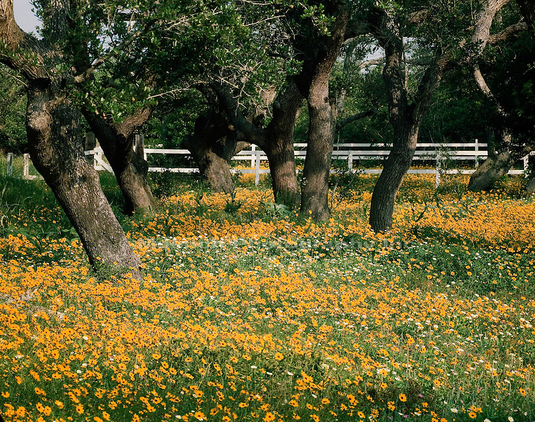 """Daisies   Live Oaks, Arkansas Pass, Hill Country"