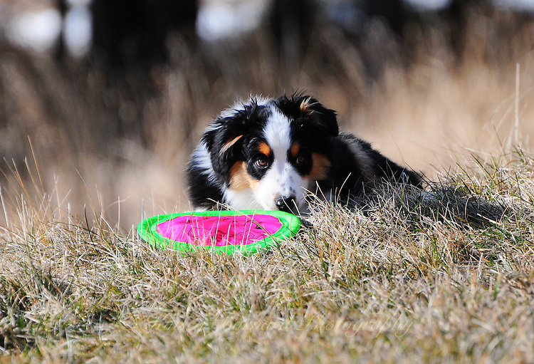 molly montana, australian shepards, puppies, puppy photos, cute puppy photos, most beautiful dogs, australian shepard puppies,