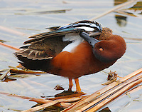 Adult male cinnamon teal preening