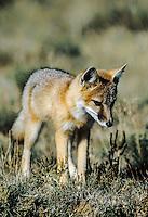 Swift Fox Kit, Colorado