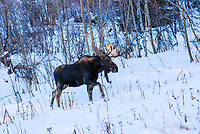 The antlers of a large Bull Moose in the Maroon Bells Wilderness Area catch the sun's early rays.