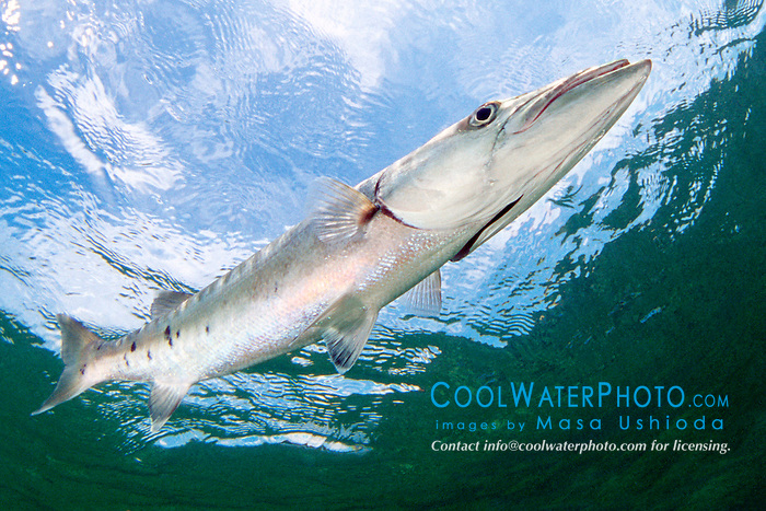 great barracuda, .Sphyraena barracuda, .Lewis Cut, Biscayne National Park, .Florida (Atlantic).
