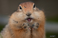 An arctic ground squirrel stuffs its cheek during a feeding frenzy on Alaska's north slope.