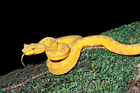 eyelash viper, Bothrops schlegelii, Arenal, Costa Rica, Central America