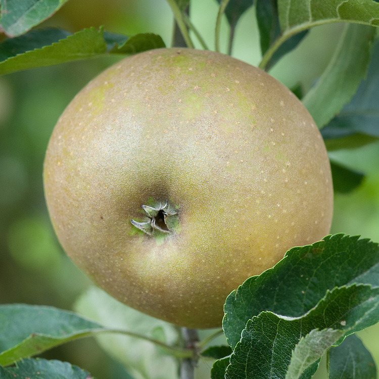 Apple 'Egremont Russet', mid September. An English russet dessert apple, believed to have originated at Petworth in West Sussex, the estate of Lord Egremont, in the early 19th century.