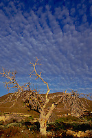 Tree with bare branches in the Canarian winter. against striking blue sky.