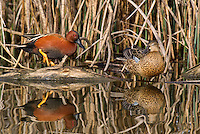 581370010 a wild male  and female cinnamon teal anas cyanoptera at colusa national wildlife refuge califonai