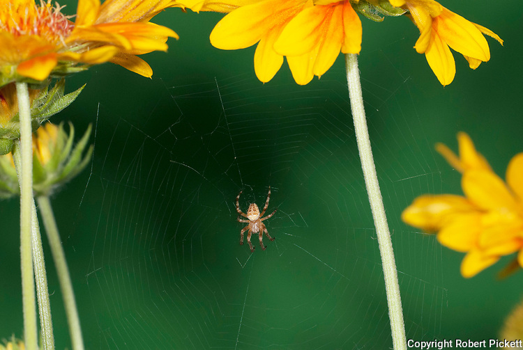 Garden Spider, Araneus diadematus, on web between daisy like flowers, Gaillardia St Clements