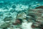 Blue spotted stingray (Taeniura lymma) in fast movement