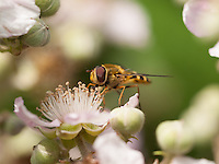 A Hoverfly Feeding on a Blackberry Flower at Pulborough Brooks, West Sussex